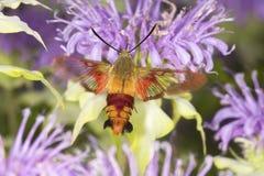 Kolibrimotte schwebt beim Herumsuchen auf Lavendelbienenbalsamfluß Lizenzfreie Stockfotos