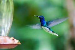 Kolibrin att närma sig till matning på en dricka springbrunn Arkivbild