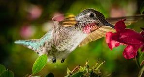 Kolibrin besöker den färgrika trädgården arkivbild