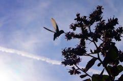 kolibrin flyger till honung fotografering för bildbyråer