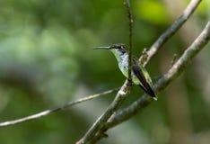 Kolibrin på vilar sätta sig på en filial arkivbild