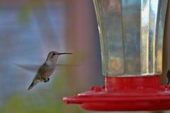 Kolibrin svävar på trädgårds- förlagematare 1 Royaltyfri Foto
