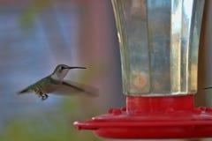 Kolibrin svävar på trädgårds- förlagematare 2 Royaltyfria Foton