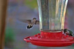 Kolibrin svävar på trädgårds- förlagematare 3 Royaltyfri Fotografi