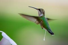 Kolibrin tar en förrådsplats Royaltyfri Foto