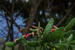 Kolibrin tar fördel för att mata på några blommor av en kaktus royaltyfri foto