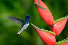 Kolibrin Vit-hånglade det Jacobin flyget bredvid härlig röd blommaheliconia med grön skogbakgrund arkivbild