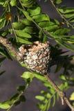 Kolibrinest auf einem Baumast Stockbild
