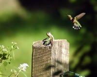 Kolibris Lizenzfreie Stockfotos