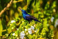 kolibris Stockfoto