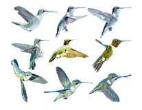 Kolibris in Flight_Vector Lizenzfreie Stockfotos
