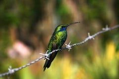 Kolibrisammanträde på försedd med en hulling - tråd Fotografering för Bildbyråer