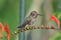 Kolibrisammanträdet på blomman royaltyfri bild