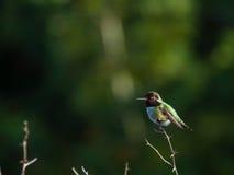Kolibristangen auf kleiner Niederlassung Stockbilder