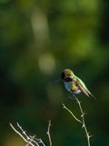 Kolibristangen auf kleiner Niederlassung Lizenzfreies Stockfoto
