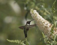 Kolibriweißhochblatt Stockfotografie