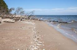 Kolka, Letland De gevallen boom op de kust van de Golf van Riga Stock Afbeeldingen