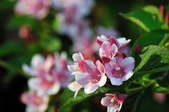 Kolkwitzia amabilis, Beautybush Royalty Free Stock Image