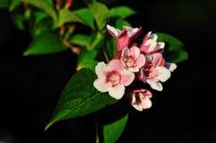 Kolkwitzia amabilis, Beautybush Lizenzfreie Stockfotos