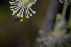 Honey bee collecting nectar and pollen from flower royalty free stock photography