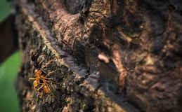 Two Weaver ants climbing a tree with a dead black ant royalty free stock image