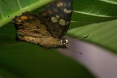 Yellow spotted small skipper sitting on leaf royalty free stock photos