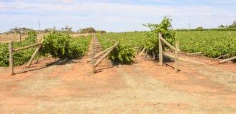Kollapsande rader av skadade Chardonnay för vind vinrankor Royaltyfri Foto
