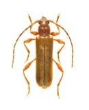 Kollari de Leioderes de coléoptère de Capricorne (mâle) Photo libre de droits