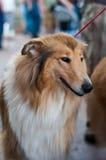 Kolli Hund Stockfotografie