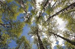 Kolliten vik Aspen Grove Royaltyfri Bild