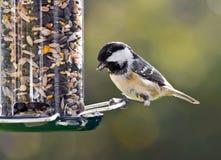 Kolmes på en fågelförlagematare. Arkivbilder