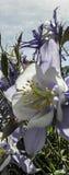 Kolombina (Aguilegia Coerulea) Fotografia Royalty Free