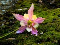 Kolombina kwiat obraz stock