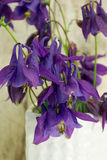 Kolombina kwiaty Fotografia Stock