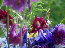 Kolombina kwiaty Zdjęcia Stock