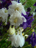 Kolombina kwiaty Obraz Royalty Free