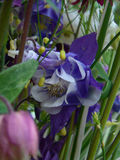 Kolombina kwiaty Fotografia Royalty Free