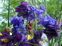 Kolombina kwiaty Zdjęcia Royalty Free