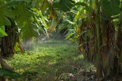 Koloni av bananträd royaltyfria bilder