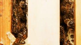 Koloni av bin som arbetar i en bikupa
