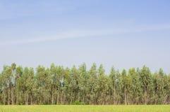 Koloni av Eucalyptustreen för paper industri Royaltyfria Bilder