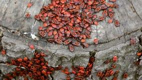 Koloni av firebugs stock video