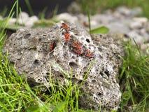 Koloni av firebugs Arkivbilder