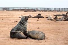Koloni av gå i ax bruna pälsskyddsremsor på uddekorset, Namibia, Sydafrika, royaltyfria foton