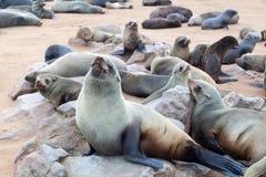 Koloni av gå i ax bruna pälsskyddsremsor på uddekorset, Namibia, Sydafrika, arkivfoto