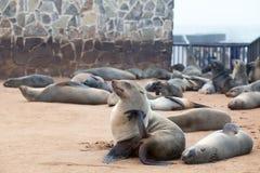 Koloni av gå i ax bruna pälsskyddsremsor på uddekorset, Namibia, Sydafrika, arkivfoton