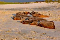 Koloni av Galapagos sjölejon som sover i solnedgångljus Royaltyfri Bild