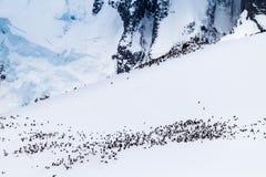 Koloni av gentoopingvin på Antarktis Royaltyfria Foton
