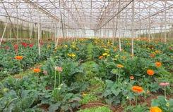 Koloni av gerberaen i växthus Royaltyfria Foton