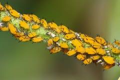 Koloni av gula bladlöss på ny växttillväxt Royaltyfri Fotografi